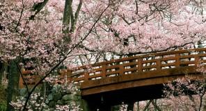 Roma : Sakura in fiore anche in ITALIA!