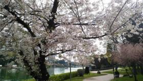 Hanami 2014: Alla scoperta dei Sakura