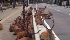 Giappone: I cervi invadono la città di Nara