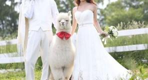Un'alpaca come testimone di nozze in Giappone